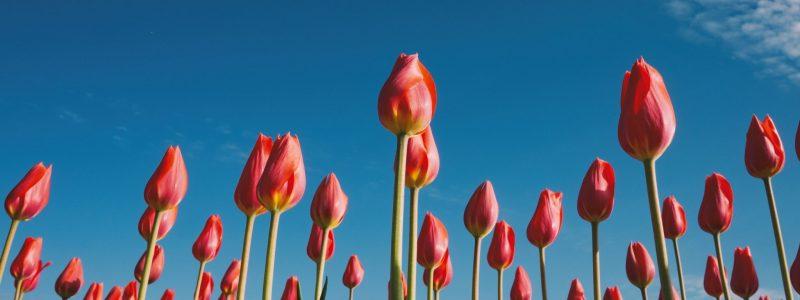 tulips spring-min