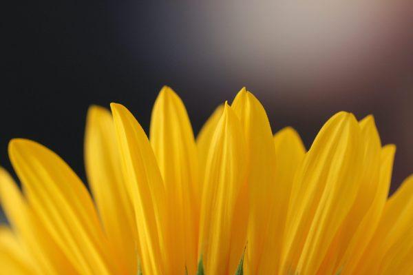 yellow flower hope anxiety-min
